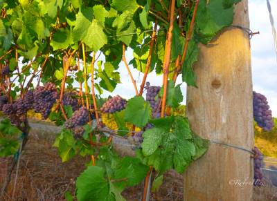 Tree property can be turned into vineyards, if you know what you're doing.  (c)  Robyn Hine.  Used with permission.