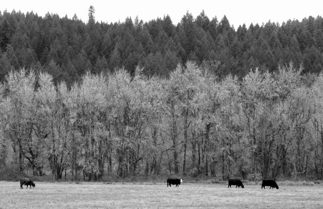 Pastoral scene near Marcola, Oregon.