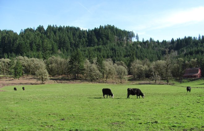Grazing cows are common along Camp Creek.