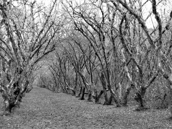 Old filbert orchard along Goats Road.